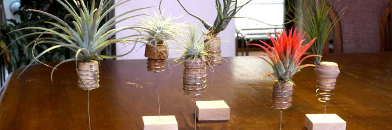 Tillandsia and arrangement